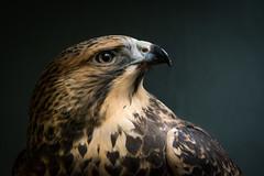 Swainson's Hawk (Jon David Nelson) Tags: swainsonshawk swainsons swainsoni buteoswainsoni buteo raptors birdsofprey wildlife wild birds biology education centraloregon conservation highdesert