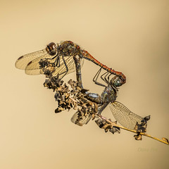 Odonata (dave_poth) Tags: