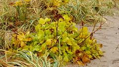 Ligusticum scothicum (Apiaceae) (Kallahdenniemi beach, Helsinki, 20161030) (RainoL) Tags: 2016 201610 20161030 apiaceae autumn fin finland geo:lat=6018616633 geo:lon=2514470100 geotagged helsingfors helsinki kallahdenniemi kallahti kallviken kallviksuuden ligusticum ligusticumscoticum nyland october plant plants rantaputki umbelliferae uusimaa vuosaari nordsjö ligusticumscothicum