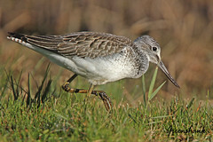 GREENSHANK / FROM THE ARCHIVES . (Tom Webzell) Tags: naturethroughthelens