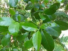 Hodgkinsonia ovatiflora 10 (barryaceae) Tags: sea acres national park port macquarie australianrainforestplant australian rainforest plants species new south wales australia ausrfps the coastal walk