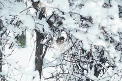 ✖'16 (mrscaramelle) Tags: november snow snowdrops snowflakes outdoor helios helios40 helios402 гелиос гелиос402 гелиос40 mrscaramelle manu manualfocus manualfocuslens manuallens manual tree leaves nature beautiful bokeh