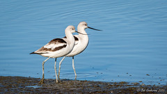 American Avocet pair - Winter (Bob Gunderson) Tags: americanavocet baylands birds california northerncalifornia recurvirostraamericana santaclaracounty shorebirds southbay