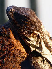Lagarto. Zoo de la Casa de Campo (Madrid) (Juan Alcor) Tags: lagarto cabeza madrid zoo casadecampo naturalezamisteriosa