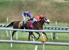 2016-11-06 (43)-1 r3 Horacio Karamanos on #8 Marabea for the win at Laurel Park (JLeeFleenor) Tags: photos photography md marylandhorseracing racing track laurelpark horaciokaramanos jockey   jinete  dokej jocheu  jquei okej kilparatsastaja rennreiter fantino    jokey ngi horses thoroughbreds equine equestrian cheval cavalo cavallo cavall caballo pferd paard perd hevonen hest hestur cal kon konj beygir capall ceffyl cuddy yarraman faras alogo soos kuda uma pfeerd koin    hst     ko  winner