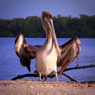 Hug a Pelican!