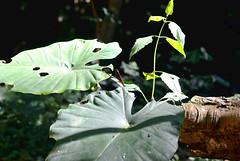 Luang Prabang (makingacross) Tags: laos pdr luang prabang luangprabang nikon d3000 louangphabang luangphabang phabang leaves insect green