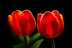 IMGP7081 Tulip (tsuping.liu) Tags: outdoor organicpatttern blackbackground bright blooming red redblack lighting nature natureselegantshots naturesfinest plant photoborder perspective pattern passion photographt tulip