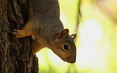 Squirrel, Cantigny Park. 41 (EOS) (Mega-Magpie) Tags: canon eos 60d nature tree squirrel wildlife cantigny park wheaton dupage il illinois usa america