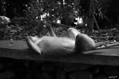 Nap time (Ubaían) Tags: bali indonesie indonesia singe monkey monkeyforest ubud travel trip voyage nature asia asie