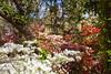 _MG_4418 (TobiasW.) Tags: spring frühling fruehling garden gardenflowers gartenblumen gärten garten blue mountains nsw australien australia backyard public