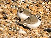 Ringed Plover (davidhampton1066) Tags: ringedplover titchfieldhaven charadriushiaticula