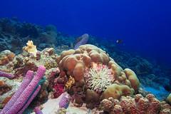 Reef_Anemone_Bonaire_November 2016 C1 1 (R13X) Tags: bonaire bonairediveandadventure underwaterphotography shorediving wideanglephotography reef coral sponge anemone