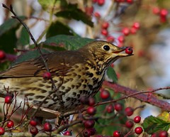 song thrush (2) (Simon Dell Photography) Tags: thrush mistle bird nature detaile macro close up sunlight red berrys festive image photo castleton derbyshire peak district uk britain country side valley hope national park high 2016 simon dell photography sheffield england views old new pics pictures winter autumn