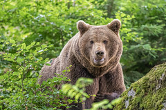 Brown Bear (Ursus arctos arctos) Explored (Linda Martin Photography) Tags: bavariannationalforest wildlife brownbear eurasasianbrownbear nature bavariannationalpark germany bavaria animals lusen europe ursusarctosarctos outdoors ngc coth naturethroughthelens