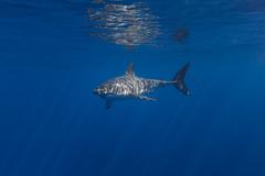 Illuminated (George Probst) Tags: shark sunlight rays sunrays sunshine greatwhiteshark water blue underwater wildlife diving baja isladeguadalupe tiburonblanco female reflection