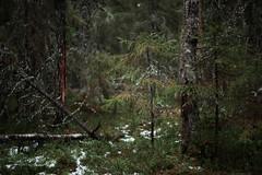 Skog, Myrby (blotafton) Tags: sony a7 fujinon 55mm f18 18 skog ebc