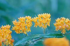 Orange Flowers (skylarprimm) Tags: butterflyweed flower madison orange plant wisconsin