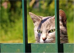 Peek a boo (Simply Viola) Tags: cat pet gato katzen felino feline animal animale gatto