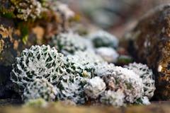 Autumn Frost on Houseleeks (AndyorDij) Tags: empingham england rutland uk unitedkingdom 2016 autumn andrewdejardin frost frosty gardens plants