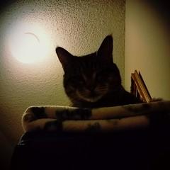 334, Yo-Yo is wondering what is going on down there. (#Bookshelf #kitty) (Gemma Geluz - http://gemmageluz.etsy.com) Tags: bookshelf kitty