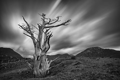 yew (zip po) Tags: connemara monochrome blackandwhite galway ireland tree yew hills cloud landscape longexposure