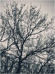 tree of life (***toile filante***) Tags: birds vgel tree baum leben life bw sw blackandwhite monochrome poetic schwarzweiss poetisch nature natur