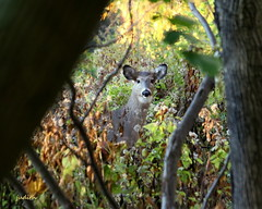 connecting with nature (judecat (back with the pride)) Tags: wildlife pennsylvaniawildlife nature deer whitetaildeer wppds