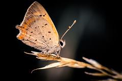 13 (tomi1302 www.tomiburcul.com) Tags: canon 7dmarkii eos tamron 90mm macro closeup butterfly insects animal nature naturallight zadar croatia