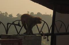 Natgeo monkey (restlesssheep7) Tags: monkey india ritual animal cute golden light shadow dark shadowplay haridwar god water life action