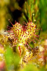 Drosera x obovata (Laurent Moulin photographie) Tags: drosera x obovata rossolis forme de coeur heart form rare plante carnivore carnivorous plant tourbière artificielle macrophotographie macro macrophotography