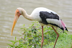 Painted stork in the park (Lim SK) Tags: painted stork mycteria leucocephala