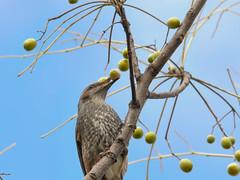 161211_GX7_1460009 (kuad9) Tags: bird