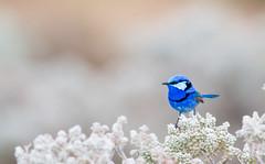 Splendid Fairy-wren (chrissteeles) Tags: splendidfairywren fairywren wren bird birding mallee mtmary southaustralia sa