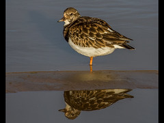 Turnstone (Paul West ( pwest.me )) Tags: bird nature donnanook lincolnshire coastal waders turnstone redshank magpie