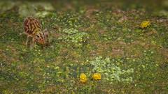 Dicyrtomina ornata und Sminthurinus aureus (Kugelspringer) Collembola (AchimOWL) Tags: macro makro natur nature animals tiere gx80 dmcgx80 panasonic lumix post focus stack stacking insekt insect raynox springtail kugelspringer collembola outdoor schärfentiefe ngc macrodreams tier
