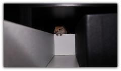 Gerbil Ray (peter-ray) Tags: photo gerbil hamtaro peter ray criceto topo rat nature animal nx2000 samsung