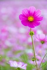 DSC_6675.jpg (d3_plus) Tags: street sky flower nature japan scenery outdoor bloom  streetphoto toyama    cosmos  johana j4 piste flowergarden nanto         nikon1    1nikkorvr10100mmf456 1 nikon1j4  yumenodairaskiarea