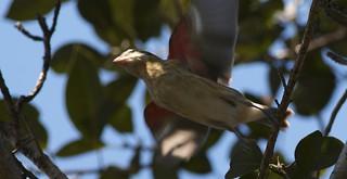 Rose-breasted Grosbeak (Pheucticus ludovicianus) RBGR