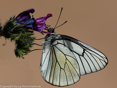 Black-veined White (xrxss15) Tags: animals tiere spain europe butterflies insects lepidoptera