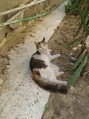 Beautiful homeless cat (hsam_32) Tags: pet cats pets animals cat egypt kitty kittens egyptian kitties egyptianmau homelesscat homelesscats