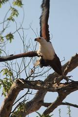 Taking off (www.JnyAroundTheWorld.com - Pictures & Travels) Tags: africa bird eagle safari botswana moremi birdofprey oiseaux fisheagle gamedrive birdlife moremigamereserve jny kwhai