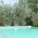 Olive tree by pool