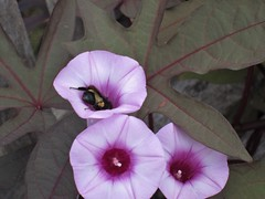 bee butt (carmacke~) Tags: flowers bees dallasarboretum