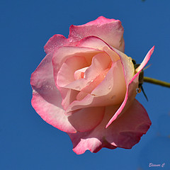 A Sunday Rose (Eleanor (No multiple invites please)) Tags: uk pink flower rose garden bluesky stanmore queensbury 85mmmacrolens nikond7100 october2014