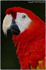 Red Boy (wesjr50) Tags: birds animals st canon is florida farm iii flash alligator l mm usm 500 beamer captive macaw augustine better ef f4 mk zoological eos5d