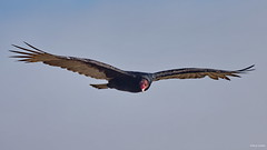 Turkey Vulture, flying, Piedras Blancas Beach CA IMG_4336 (Hart Walter) Tags: bigsur californiacoast turkeyvulture californiacondor pointlobosstatereserve pfeifferbigsurstatepark piedrasblancaselephantsealreserve elephanmtseal pampasgrassinvasion