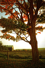 (monsters.monsters) Tags: thanksgiving autumn sunset holiday ontario canada tree fall halloween grass leaves barn countryside seasons bark trunk mapletree transition warmtones nikond800