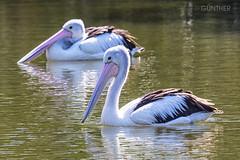 P E L I C A N S (domingo_95) Tags: pelicans animal canon gold coast wildlife australia pelican queensland sanctuary currumbin 100400l 60d