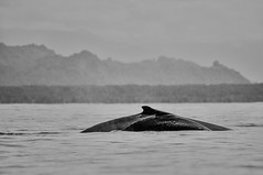 Family (Jarib) Tags: ocean costa swimming swim pacific rica whale humpback